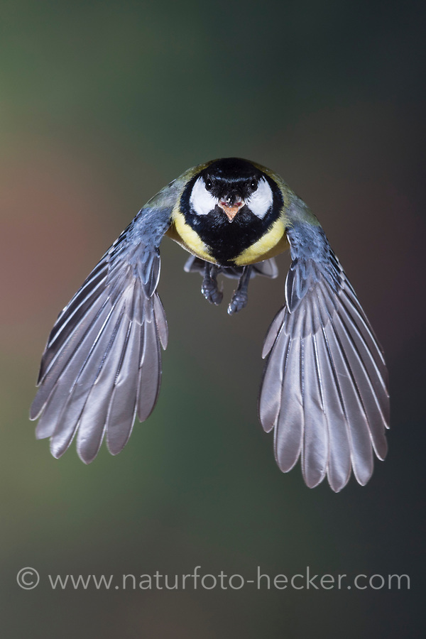 Kohlmeise, im Flug, Flugbild, fliegend, Kohl-Meise, Meise, Meisen, Parus major, Great tit, flight, flying, La Mésange charbonnière