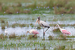 American Wood Stork, two Roseate Spoonbills are watched by a Snowy Egret, Ibera Marshes, Argentina.