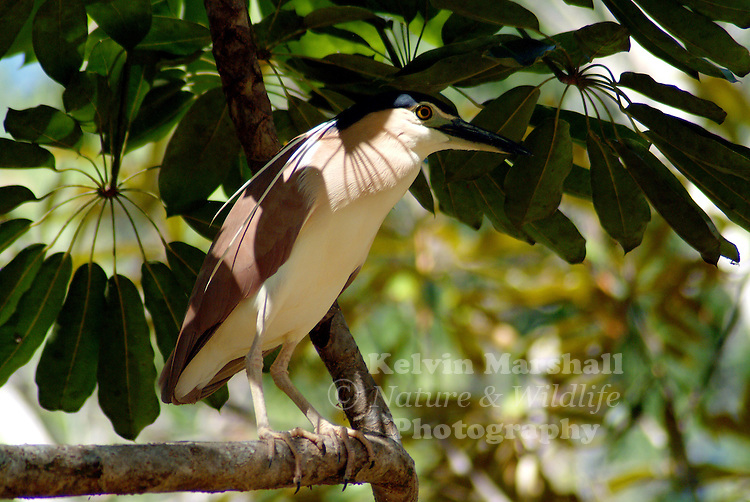 The Nankeen Night Heron, (Nycticorax caledonicus), also commonly referred to as the Rufous Night Heron, and in Melanesia as Melabaob, is a medium-sized heron. It is found throughout much of Australia except the arid inland, Indonesia, the Philippines, Papua New Guinea and Melanesia.
