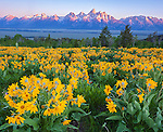 Grand Teton National Park, WY: A field of balsamroot ( Balsamorhiza sagittata) overlooking the valley floor and Teton Range at dawn