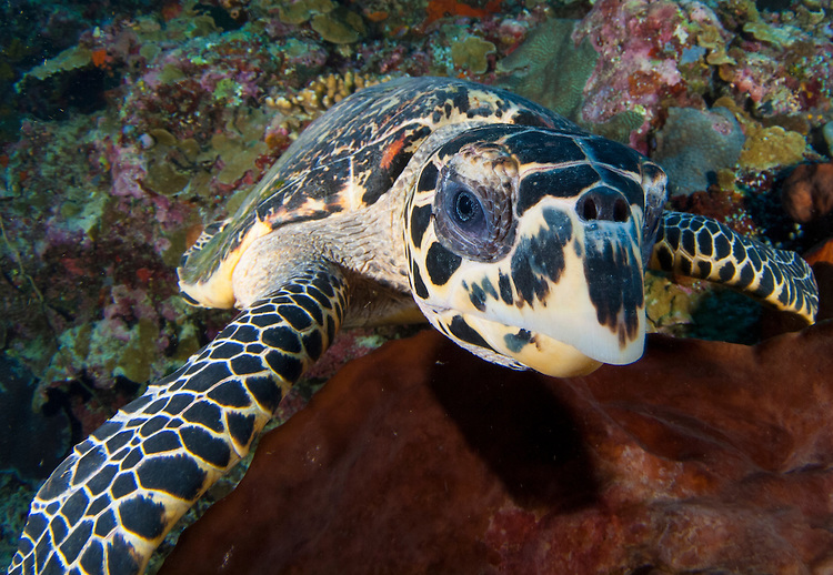 Close up head on view of a hawksbill sea turtle: Eretmochelys imbricata, Bunaken National Park, Sulawesi, Indonesia