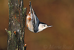 White-breasted Nuthatch (Sitta carolinensis) male, clinging head-downward on treetrunk in typical nuthatch pose, New York USA<br /> Slide B125-45
