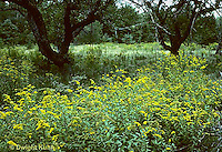 MD07-007d  Meadow - apple trees, goldenrod