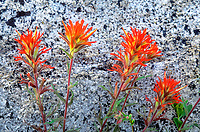 163650002 a wild indian paintbrush wildflower castilleja miniata flowers against a lichen covered granite rock in the eastern sierras of central california