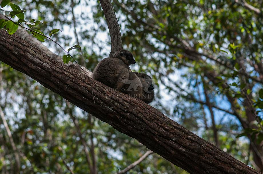 Common Brown lemur (Eulemer fulves)