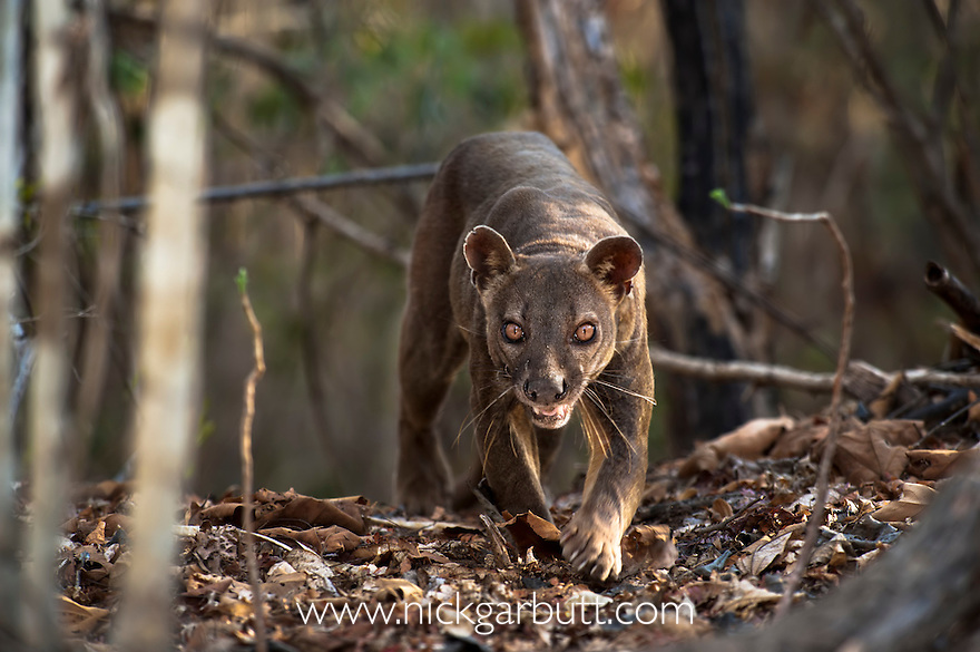 Adult male Fosa (Crytoprocta ferox) (sometimes incorrectly Fossa) prowling on deciduous forest floor. Kirindy Forest, western Madagascar.
