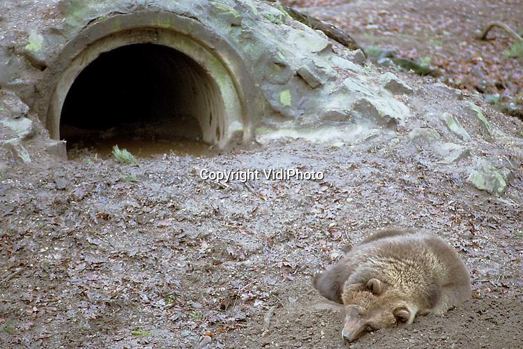 Foto: VidiPhoto..RHENEN - De blinde beer Bora in Ouwehands Dierenpark in Rhenen, is de enige beer in het park die zijn winterslaap buiten houdt. Vermoedelijk kan het  .dier zijn hol niet goed vinden. Volgens een woordvoerster van Ouwehands is Bora er inmiddels aan gewend om buiten te slapen, ondanks de kou. .Gemiddeld eenmaal in de week wordt de beer wakker, gaat op zoek naar eten en slaapt dan weer verder.