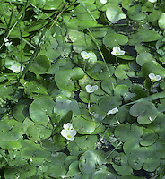 FROGBIT Hydrocharis morsus-ranae (Hydrocharitaceae) Aquatic. Floating perennial that grows in still waters of canals, ponds and ditches. FLOWERS are 2cm across, the 3 petals white with a yellow basal spot; on emergent stalks, male and female separate (Jun-Aug). FRUITS are capsules. LEAVES are 2-3cm across, floating and rounded or kidney-shaped.