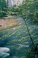 Mountain dogwood and the Merced River<br />