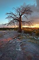 Last light on the Baobab tree