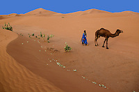 """A'arib nomad guide, Hassan Kachti, proud owner of three camels, leads one of his camels out to graze in the Chegaga dunes in the Sahara desert in Morocco. Sometimes he will have to walk as far as 20 km to find his camels at the end of the day. """"That's not far for us,"""" says Kachtii."""