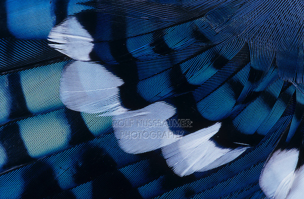 Blue Jay, Cyanocitta cristata, Feather close up, San Antonio, Texas, USA