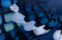 Blue Jay, Cyanocitta cristata, Feather close up, San Antonio, Texas, USA