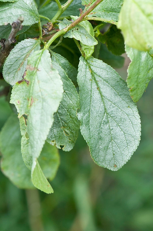 Silver leaf disease on a plum tree, early May. A fungal disease that takes its name from the silvery sheen that develops on infected leaves.