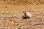 A grizzly bear sits on the autumn tundra in Denali National Park, Alaska.