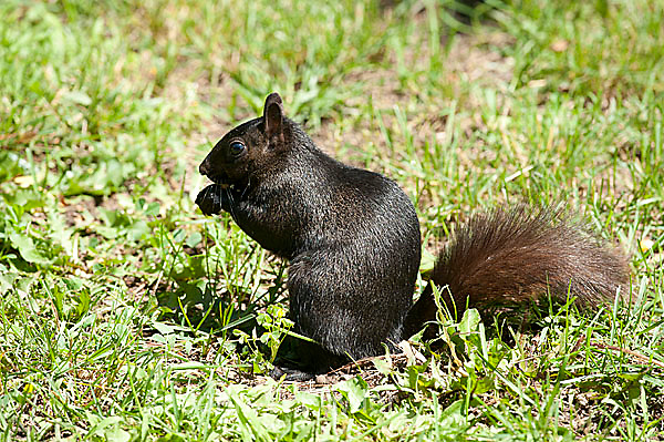 Black Squirrel, Sciurus carolinensis