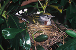 Willow Fly Catcher on nest