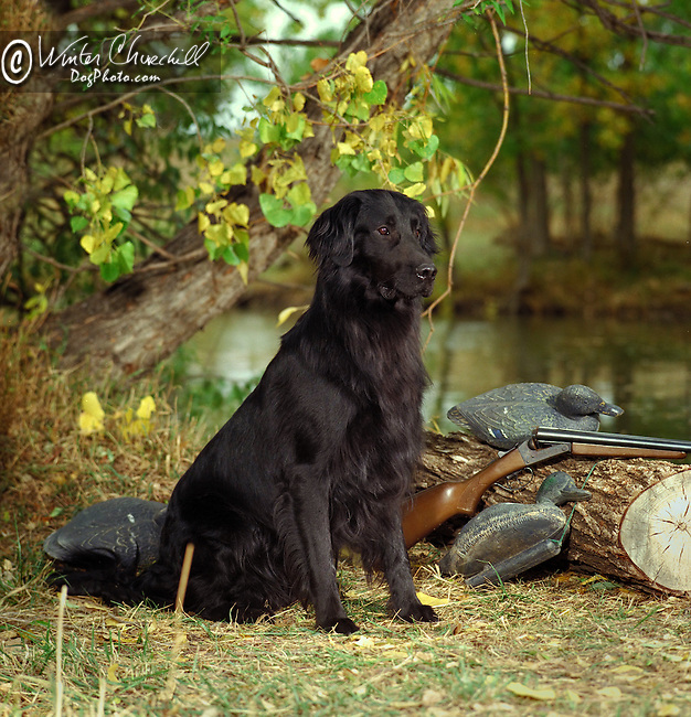 Flat Coated Retriever<br /> <br /> <br /> <br />  Shopping cart has 3 Tabs:<br /> <br /> 1) Rights-Managed downloads for Commercial Use<br /> <br /> 2) Print sizes from wallet to 20x30<br /> <br /> 3) Merchandise items like T-shirts and refrigerator magnets