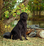 Flat Coated Retriever<br />