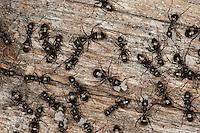 Grauschwarze Sklavenameise, Sklaven-Ameise, Furchtsame Hilfswaldameise, Waldameise, Waldameisen, Formica fusca, Serviformica fusca, negro ant
