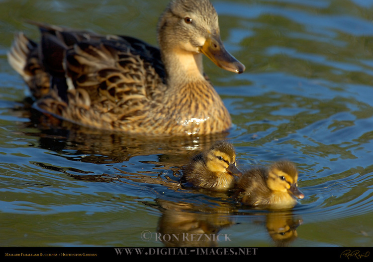 Mallard Female and Ducklings, Huntington Gardens, San Marino, California