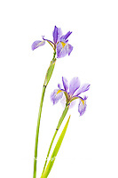 30099-00503 Blue Flag Irises (Iris versicolor) (high key white background) Marion Co. IL