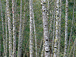 Siuslaw National Forest, OR<br /> Forest wall of red alder (Alnus rubra) trunks patterned with lichen patches