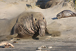 Elephant seal bull moving