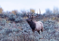 A large bull elk calls out a challenge to any others brave enough to move in on his harem during the wee hours before sunrise on an overcast Wyoming morning.