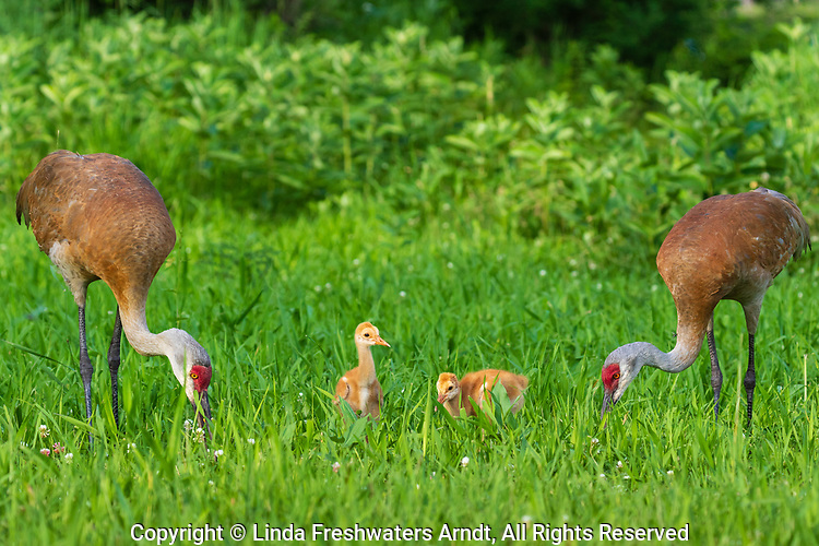 Sandhill cranes feeding their two colts.