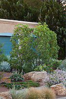 Vauquelinia corymbosa ssp. angustifolia, Chisos Rosewood in New Mexico garden, design by Judith Phillips