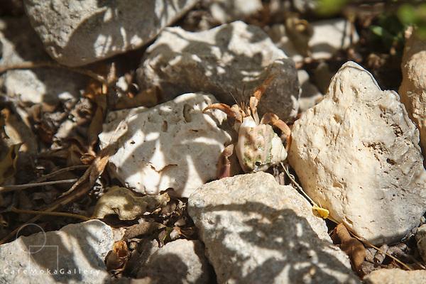 Hermit crab crawling over rocks