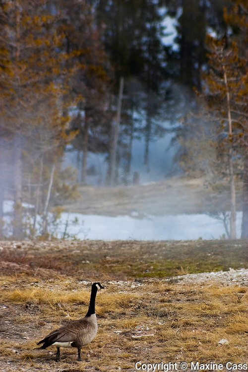 Canada Goose (Branta canadensis) [Wild] looks at winter barren ground at Old Faithful Geyser Basin,Yellowstone National Park, Wyoming, United States of America