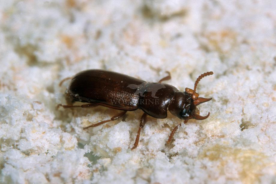 Gehoornde meelkever (Gnatocerus cornatus)