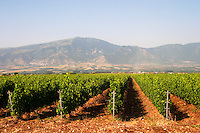 Vineyard. Ktima Pavlidis Winery, Drama, Macedonia, Greece