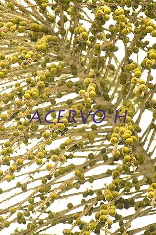 A&ccedil;a&iacute; do Herb&aacute;rio da Universidade Federal do Acre. &Eacute; o &quot;a&ccedil;a&iacute; de Cruzeiro do Sul&quot;, como costumam dizer os acreanos que o conhecem. Eles est&atilde;o mais uma vez bastante carregados, atraindo a passarada, especialmente os sabi&aacute;s que come&ccedil;am a reaparecer para a chegada de nosso inverno amaz&ocirc;nico.<br /> De acordo com Evandro Ferreira, Ph.D. em bot&acirc;nica, especialista em palmeiras, veio conferir os p&eacute;s de a&ccedil;a&iacute;.<br /> <br /> Leia o diagn&oacute;stico dele:<br /> <br /> &quot;Voc&ecirc; definitivamente tem em casa p&eacute;s de a&ccedil;a&iacute; branco, mas o nome cient&iacute;fico do mesmo &eacute; Euterpe oleracea. Em outras palavras: seus p&eacute;s de a&ccedil;a&iacute; s&atilde;o leg&iacute;timos p&eacute;s de a&ccedil;a&iacute;-de-touceira, que produzem frutos maduros de cor meio esverdeada e que resultam em um vinho de cor creme. E mais: esta variedade de a&ccedil;a&iacute; &eacute; encontrada at&eacute; no mercado de Bel&eacute;m. Veja no blog Perfume de pequi que os frutos &agrave; venda em Bel&eacute;m correspondem aos frutos que vimos na sua casa.<br /> <br /> Descartei a esp&eacute;cie E. catinga, que havia sugerido, porque ao consultar a literatura especializada verifiquei que ela possui frutos com endosperma homog&ecirc;neo. Os frutos que vimos ontem t&ecirc;m endosperma ruminado, caracter&iacute;stica essa que corresponde aos frutos de E. oleraceae (a&ccedil;ai-de-touceira).