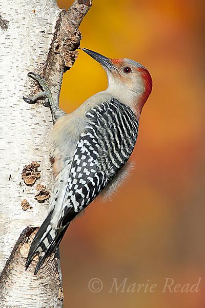Red-bellied Woodpecker (Melanerpes carolinus), female clinging on birch trunk in autumn, New York, USA