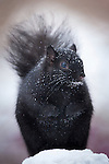 Eastern Grey Squirrel in the snow