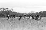 posseiros em mutirão para colheita do arroz em Conceição do Araguaia , pará