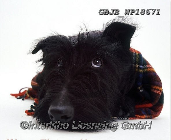 Kim, CHRISTMAS ANIMALS, WEIHNACHTEN TIERE, NAVIDAD ANIMALES, fondless, photos+++++,GBJBWP18671,#xa#