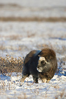 Young muskox stands on the snow covered tundra of Alaska's Arctic Coastal Plain.