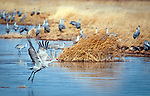 March 21, 2018: A timid sandhill crane makes a water crossing in the National Wildlife Refuge wetlands. Each spring, as many as 27,000 sandhill cranes migrate through Colorado's San Luis Valley and the Monte Vista National Wildlife Refuge, Monte Vista, Colorado