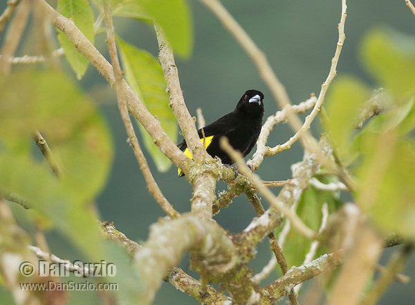 Male lemon-rumped tanager, Ramphocelus icteronotus, in Tandayapa Valley, Ecuador