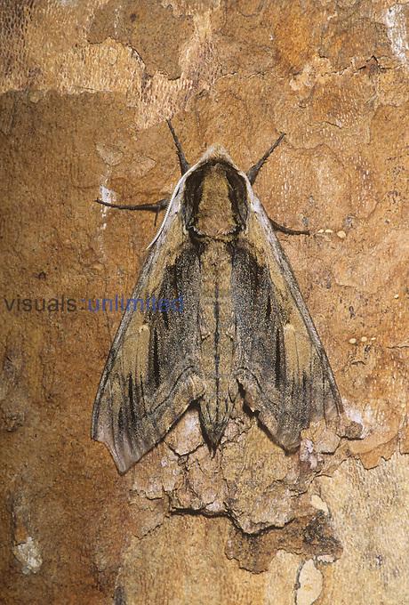 Elm Sphinx Moth (Ceratonia amyntor), Family Sphingidae, Shenandoah National Park, Virginia, USA.