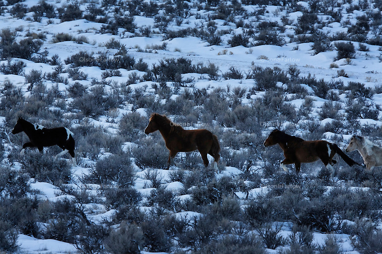 Mustangs run through snowy range in South Steens Mountain.