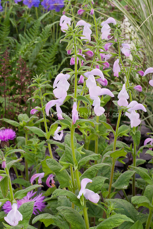 Salvia patens 'Pink Ice', AGM, pale pink flowers