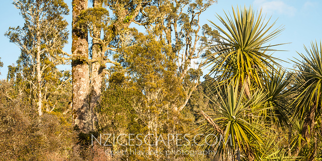 Native forest with juvenile kahikatea and cabbage tree near Whataroa in morning, Westland Tai Poutini National Park, West Coast, UNESCO World Heritage Area, New Zealand, NZ