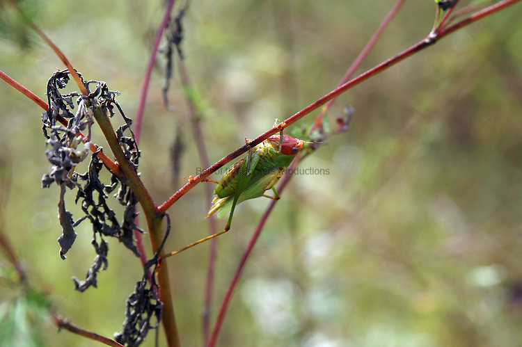 This katydid is singing its heart out.