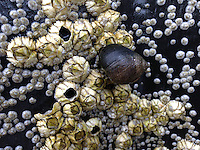Periwinkle and Barnacles, Castine, Maine, US