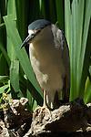 Black-crowned Night Heron, Sepulveda Wildlife Refuge, Southern California